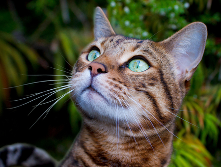 Close-up portrait of Bengal cat with green eyes - Stock photo