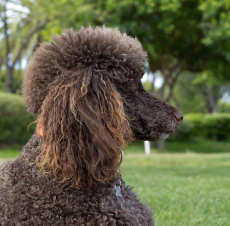 Portrait of a standard poodle - Stock photo 写真素材