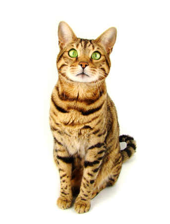 Bengal cat sitting on white background - Stock photo 写真素材