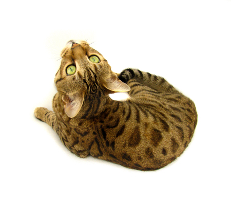 Bengal cat lying down on white background