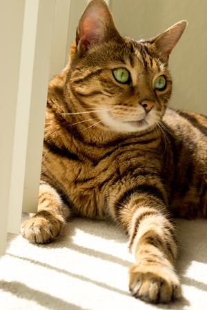 Portrait of a Bengal cat near window - Stock photo 写真素材