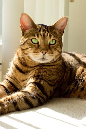 Portrait of a Bengal cat near window