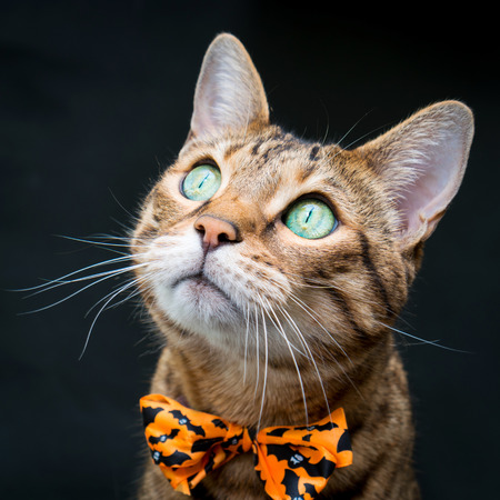 Portrait of a Bengal Cat in a Halloween bow tie