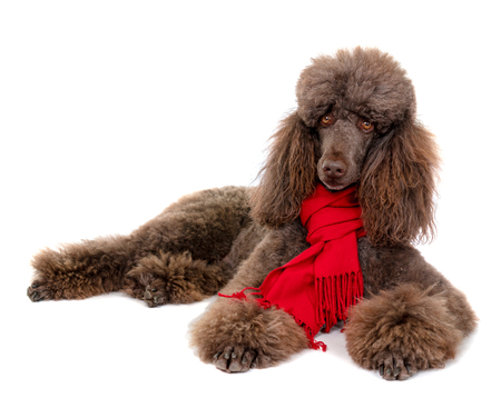 Laying Down Standard Poodle in Red Scarf on White Background