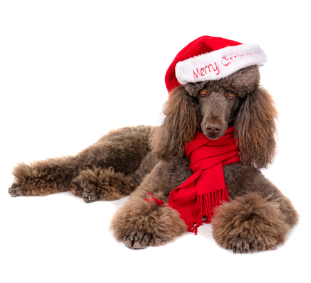Laying Down Standard Poodle in Christmas Santa Hat and Red Scarf on White Background 写真素材