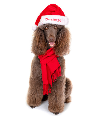 Sitting Down Standard Poodle in Christmas Santa Hat and Red Scarf on White Background