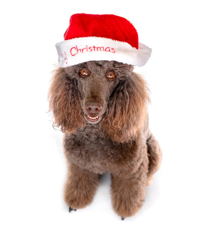 Close-up Portrait of Standard Poodle in Christmas Santa Hat on White Background