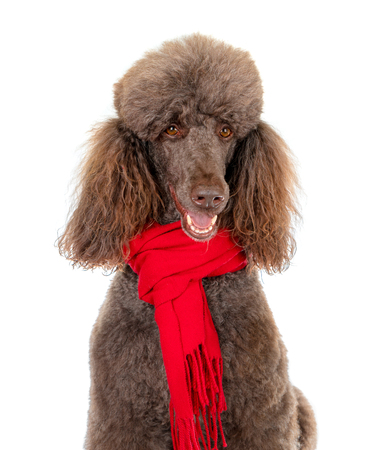 Close-up Portrait of Standard Poodle in Red Scarf on White Background