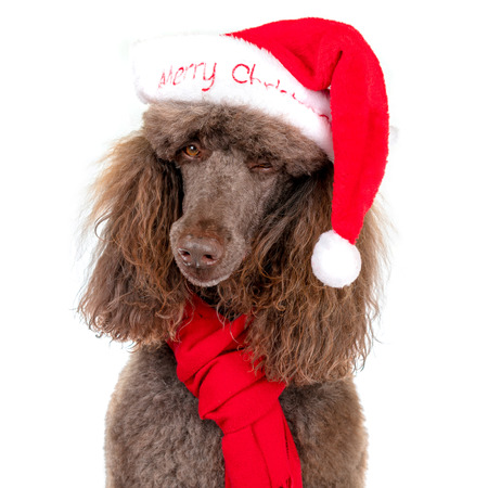 Winking Close-up Portrait of Standard Poodle in Christmas Santa Hat and Red Scarf on White Background
