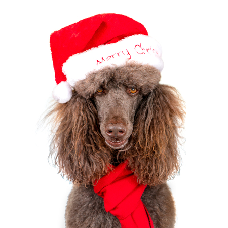 Close-up Portrait of Standard Poodle in Christmas Santa Hat and Red Scarf on White Background