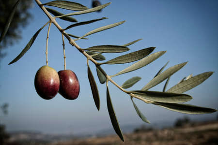 green olives on branch with leaves, Jaen, Spain photo
