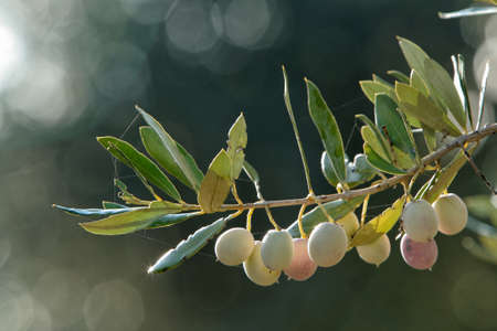 olives variety Blanquette of jaen, color clear, are features of the hinterland of Jaén Standard-Bild