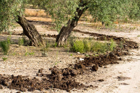 Treatment of fertilization in a field of olive trees, consists in paying with organic matter, also called compost of different classes, such as compost of cow, goat and traces of pruning photo