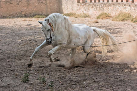 White Horse of purebred Spanish trot photo
