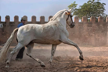 White horse of pure breed Spanish trotting photo