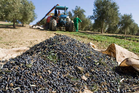Olives on a canvas on the ground in a field of olive trees near Jaen, Andalusia, Spain 版權商用圖片