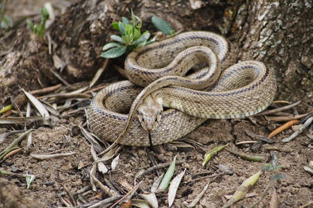 snakes and ladders: Rhinechis scalaris out of a tree in spring, Spain Stock Photo