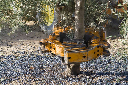 Vibrating machine in an olive tree, Jaen, Spain Standard-Bild
