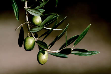 Olive in a branch picual, Jaen, Andalusia, Spain photo