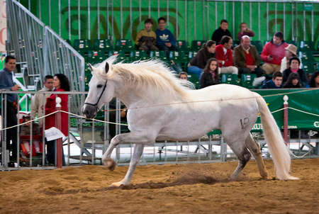 morphology: Equestrian test of morphology to pure Spanish horses, Spain
