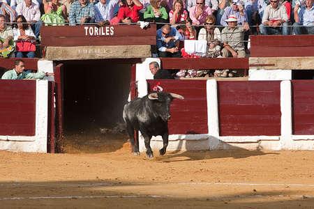 going out: Cattura della figura di un toro coraggioso in una corrida uscire bullpens, Spagna, 29 Settembre 2008 Editoriali