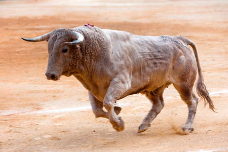 Bull color cinnamon galloping at a bullfight, Andalusia, Spain photo