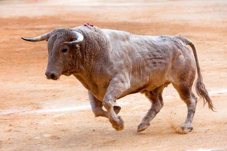 corrida de toros: Bull de color canela al galope en una corrida de toros, Andalucía, España