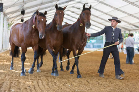 morphology: Three Spanish mares of pure race called also cobra of three mares taking part during an exercise of equestrian morphology in Andujar, Jaen province, Andalusia, Spain