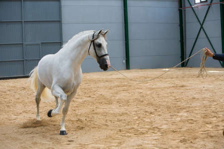 morphology:   Spanish horse of pure race taking part during an exercise of equestrian morphology in Baza, Granada province, Andalusia, Spain