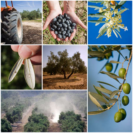Concept of agriculture of the olive tree, collage