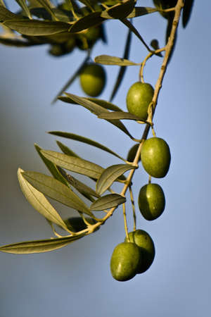 onsite: green olives on branch with leaves, Jaen, Spain