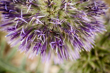 violette fleur: Ant sur la fleur pourpre Banque d'images