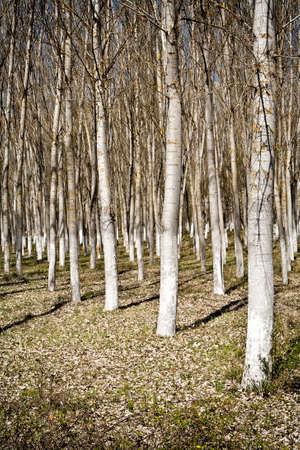 poplars: A roe of spring poplars