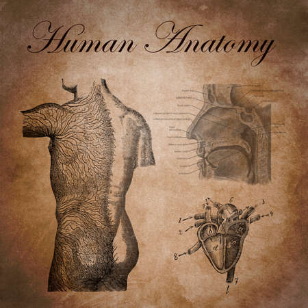 superficial: human anatomy, study of the nervous device, heart and respiratory system