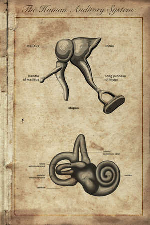 pinna: the human auditory system, Parts of the Human Ear, vintage engraved illustration