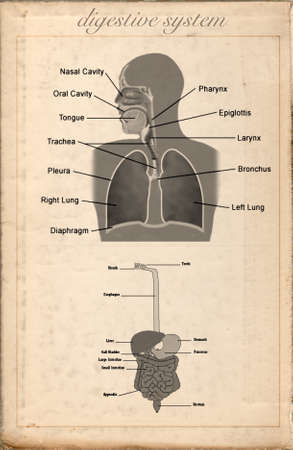 transverse colon: Old sheet vintage of the digestive system