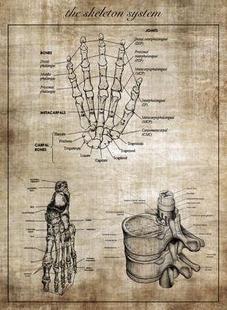 intervertebral: The human skeleton system, part of body Stock Photo
