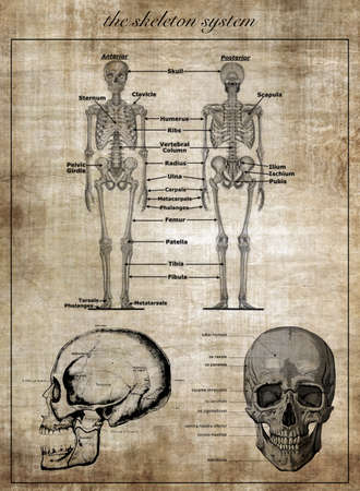 spinal disks: The human skeleton system, part of body Stock Photo