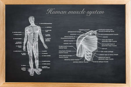 didactic: didactic board of anatomy of human bony and muscular system Stock Photo