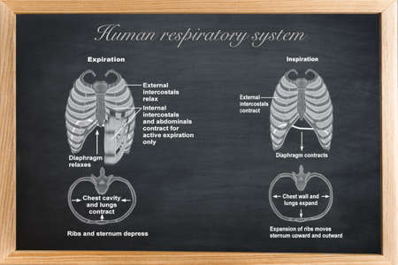 sternum: didactic board of anatomy of Human respiratory system
