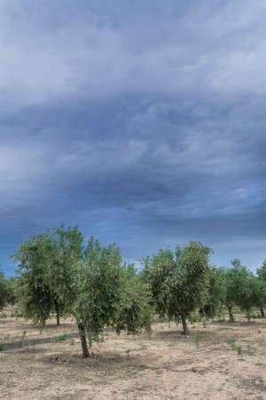 onsite: Olive tree in flowering during spring, clouds of purple color threaten thunderstorm, Andalusia, Spain