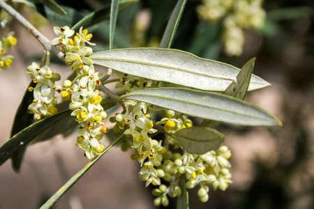 olivo in fiore in primavera, Andalusia, Spagna
