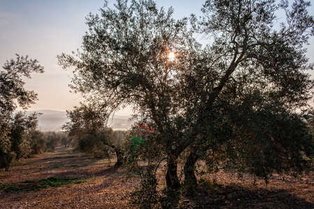back light: Olive tree silhouette to the evening, scenery to back light near Jaen, Spain Stock Photo