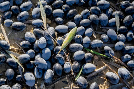agricultura: Black olives on the ground
