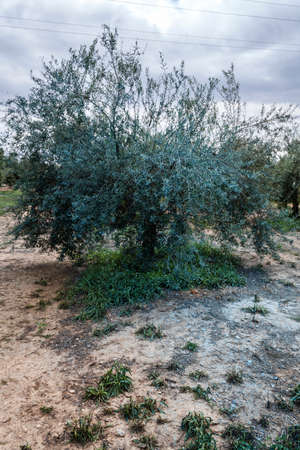 olive groves: Herbicides in olive groves in conservation agriculture systems for the plagues prevention