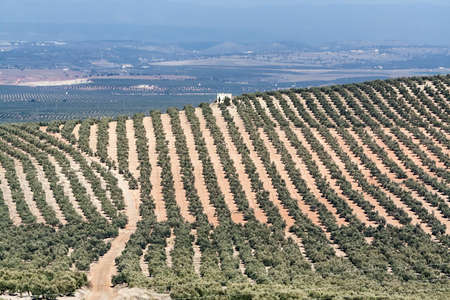 ecologic: Landscape of olive trees during summer, cultivation ecologic, Spain