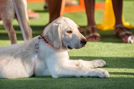 three months old: Golden retriever three months old wet dog portrait Stock Photo