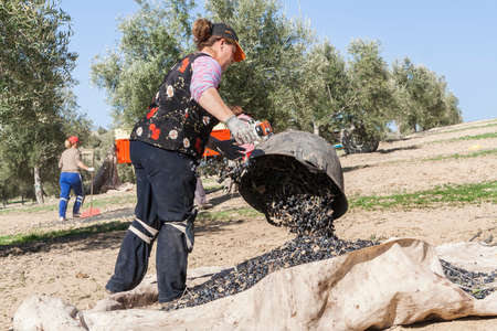 dumps: Jaen, Spain - January 2, 2016: Farmer dumps olives collected in a lot, during the winter in January, take in Jaen, Spain