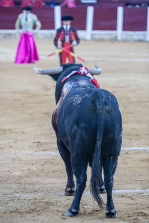 corrida de toros: Ubeda, SPAIN - September 29, 2010: Capture of the figure of a brave bull of hair black color in a bullfight, Spain Editorial