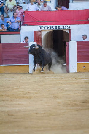 going out: Pozoblanco, Spain - September 5, 2010: Capture of the figure of a brave bull in a bullfight going out of bullpens, Pozoblanco, Spain Editorial
